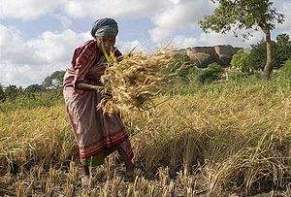 300px-Manual_harvest_in_Tirumayam